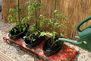 Grow A Bumper Crop Of Tomatoes With Ease.